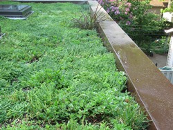 Our green roof, with sedums and a couple of annual grasses planted along the edge